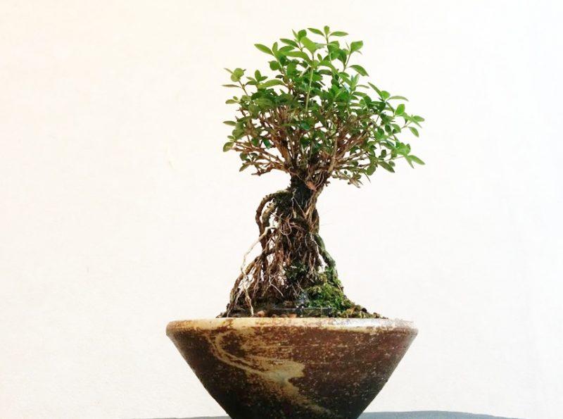 ザクハクチョウゲ盆栽