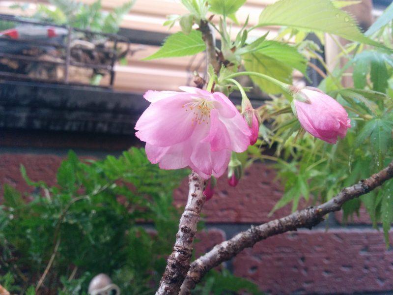 さくら盆栽開花