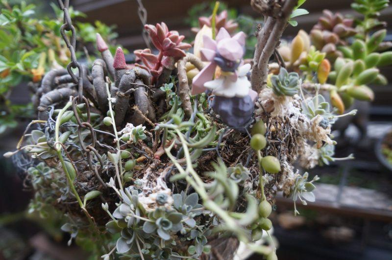 空中庭園ハンギングと多肉植物