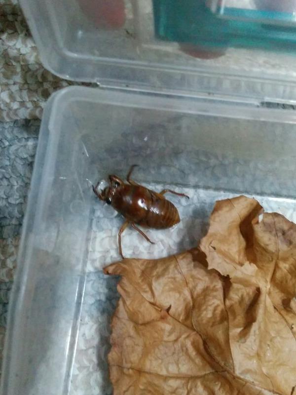 セミの幼虫。目が黒くて結構かわいい。